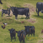Black Cattle Cows Quilting Fabric