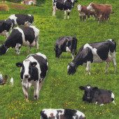 Cows on Grass Farm Animal Country Barn Brown Black Quilting Fabric